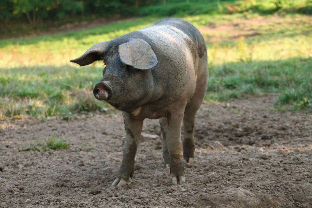 : Das gute Leben bekommt den Schwäbisch-Hällischen Weideschweinen, die zudem mit Eicheln gemästet werden.