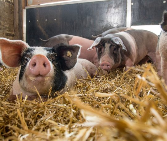 Schwäbisch-Hällisches Schwein im Stall: Stroheinstreu ist Pflicht