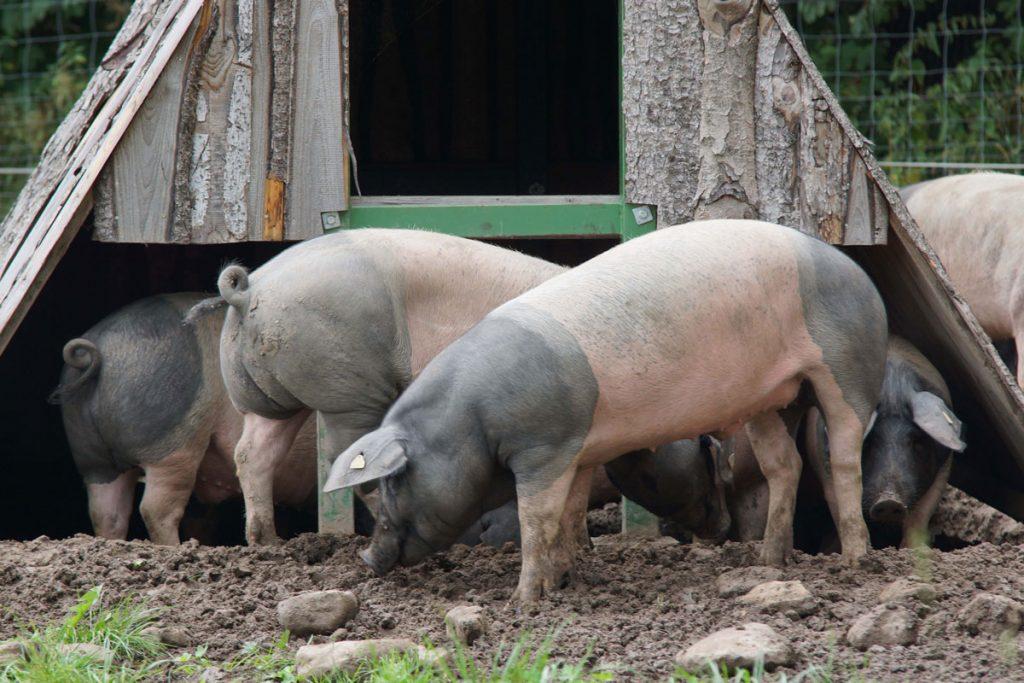 Artgerechte Tierhaltung in Hohenlohe: Schwäbisch-Hällische Demeter-Weideschweine.