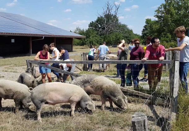 Studenten der Universität Hohenheim besuchen die Schwäbisch-Hällischen Eichelmastschweine auf der Weide bei Wolpertshausen.
