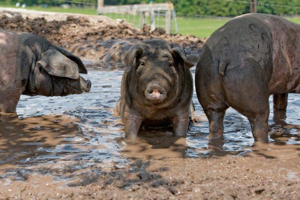 Arten- und Lebensvielfalt: Schwäbisch-Hällische Weideschweine in der Suhle.