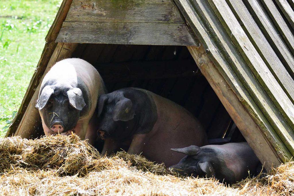 Holzhütten mit Stroheinstreu schützen die Schweine vor der Witterung.
