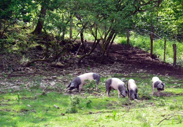 In kleinen Grüppchen schwärmen die Schwäbisch-Hällischen Weideschweine zur Futtersuche aus.
