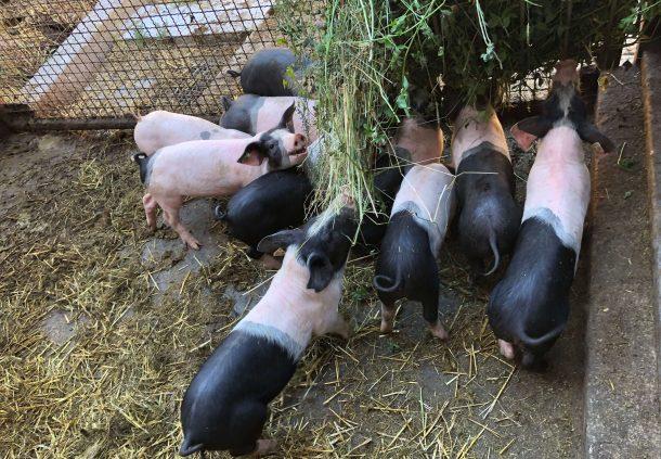 : Schwäbisch-Hällische Ferkel auf dem Bio-Hof der Familie Löblein bekommen auch frischen Klee zum Fressen.