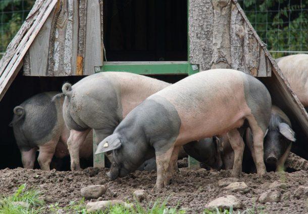 Schwäbisch-Hällische Schweine, die älteste Landrasse Deutschlands, auf der Weide.