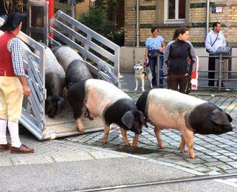 Mit dem Transporter werden die Schwäbisch-Hällischen Schweine auch zum Umzug auf den Cannstatter Wasen gebracht.