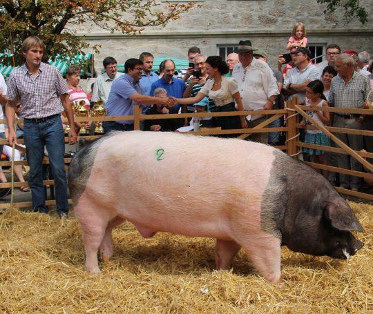 Programmhöhepunkt beim Hoffest: Zuchtschau mit Schwäbisch-Hällischen Sauen und Ebern.