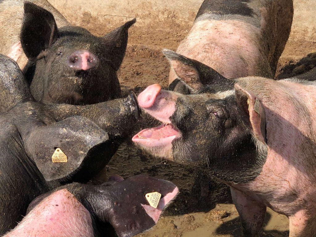 Schweinedusche für die Schwäbisch-Hällischen Mastschweine.