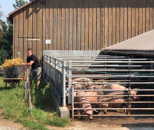 Beim Biolandhof Fauser haben die Schwäbisch-Hällischen Mastschweine einen großen Auslauf.