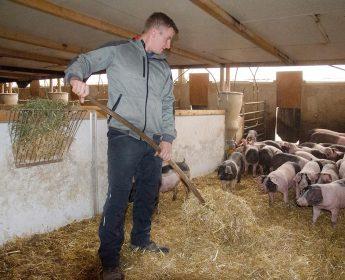 Michael Strecker mistet bei den Schwäbisch-Hällischen Mastschweinen.