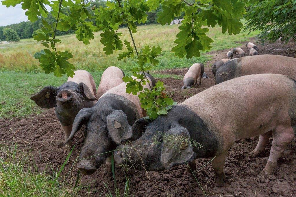Schwäbisch-Hällischen Schweine unter Eichenbäumen auf der Weide im Hohenloher Land.