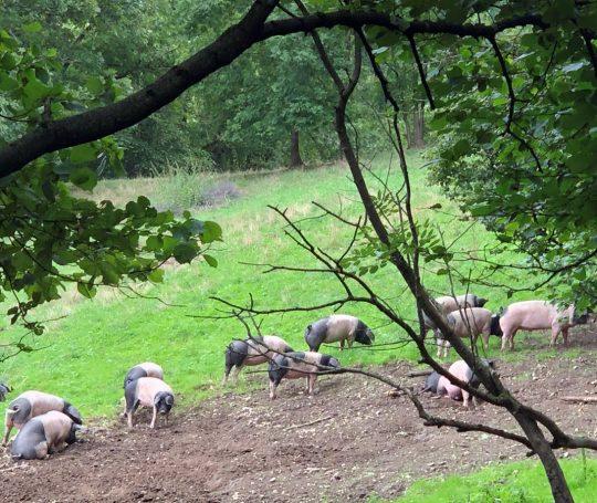 Auf der 3,6 Hektar großen Weide hoch über dem Bühlertal leben 30 Schwäbisch-Hällische Demeter-Schweine.