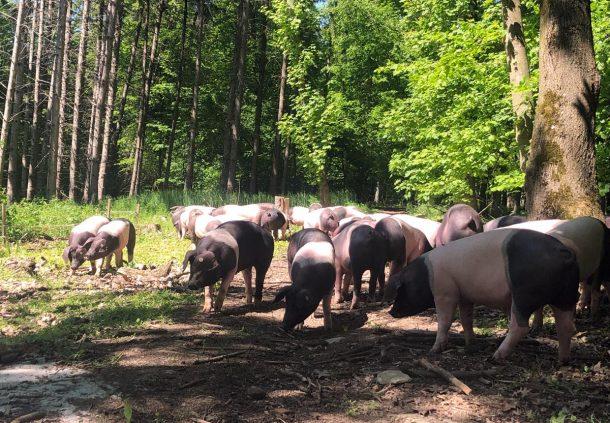 Die Schwäbisch-Hällischen Weideschweine nehmen den Wald der Walters in Besitz.