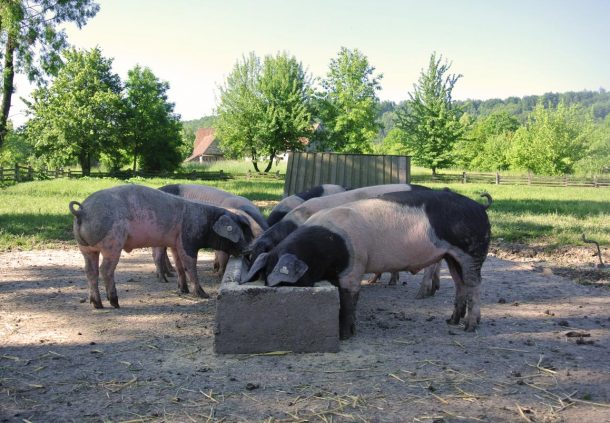 Schwäbisch-Hällische Schweine fressen regionales, gentechnisch unverändertes und nachhaltig angebautes Futter.