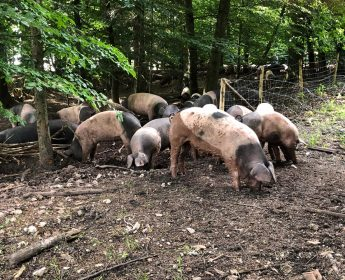 Waldweide mit den Eichelmastschweinen von Stefan Brenner.