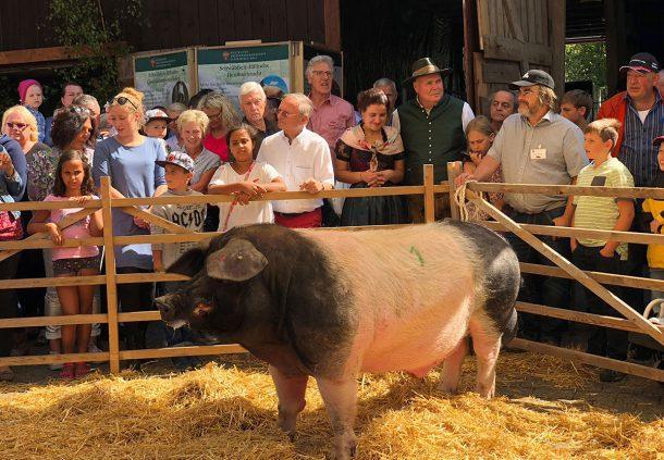 Ein Höhepunkt beim Hoffest: Zuchtschau mit Schwäbisch-Hällischen Schweinen.
